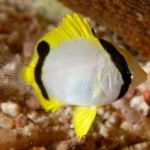 juvenile_angel_fish