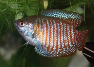 healthy male dwarf gourami