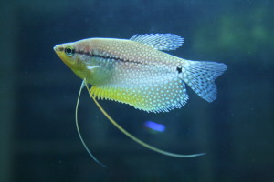 pearl or lace gourami