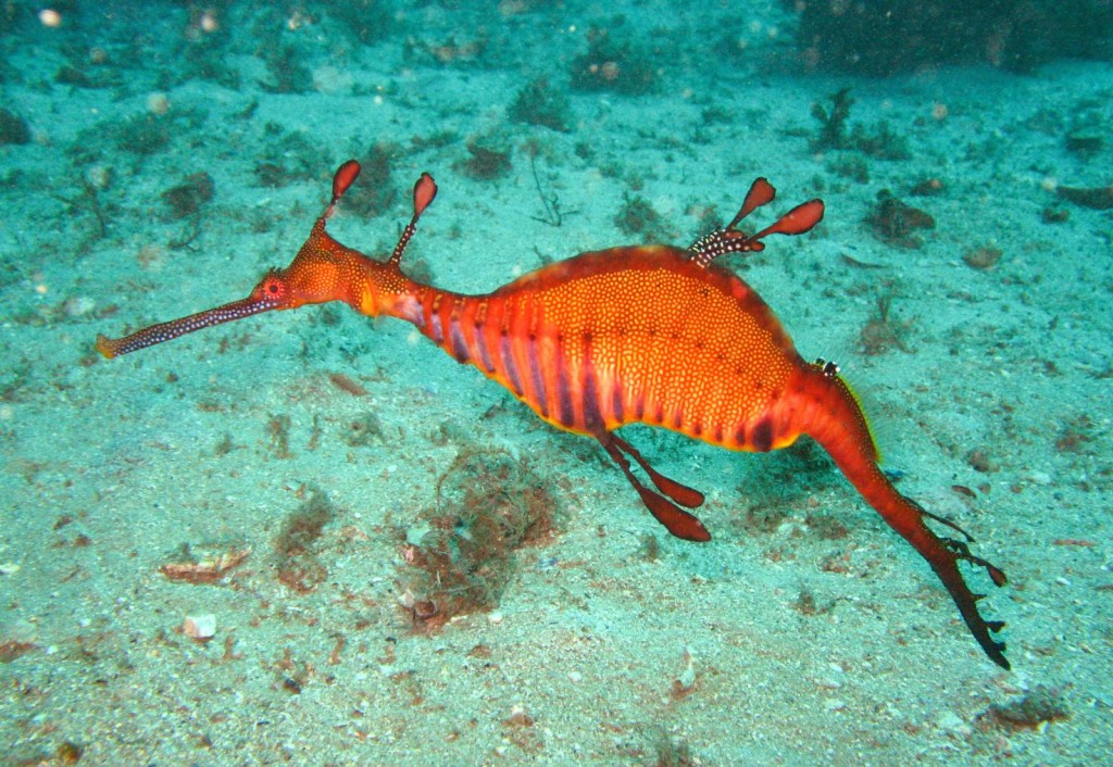 weedy sea dragon essay Weedy seadragon or common seadragon (phyllopteryx taeniolatus) while the weedy sea dragon is a desired species in the international aquarium trade.