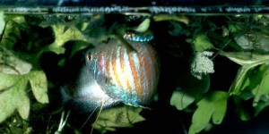 dwarf_gourami_mating_bubble_nest