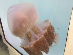 'Extinct Jellyfish' Sighted After 103 Years