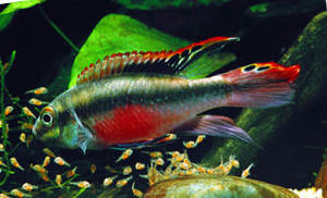 female_kribensis_fish_with_fry