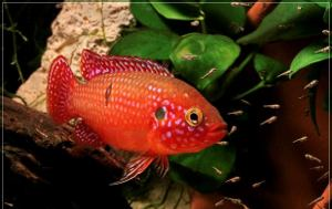 jewel cichlid with fry