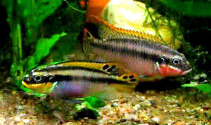 kribensis breeding pair