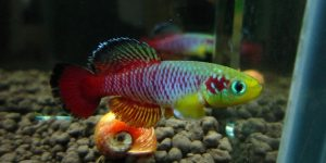 male_nothobranchius_guentheri_killifish