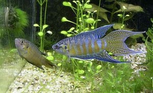 pair adult paradise fish
