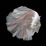 siamese_fighting_fish_1