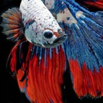 siamese_fighting_fish_2