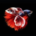siamese_fighting_fish_3