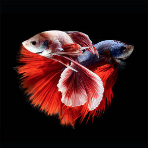 Excellent Portraits of Siamese Fighting Fish by Visarute Angkatavanich