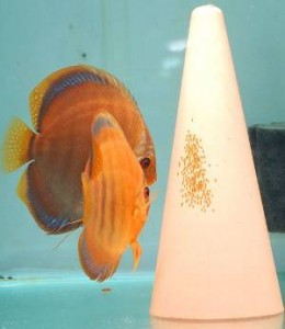 Breeding discus pair guarding eggs
