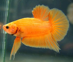 orange siamese fighting fish male