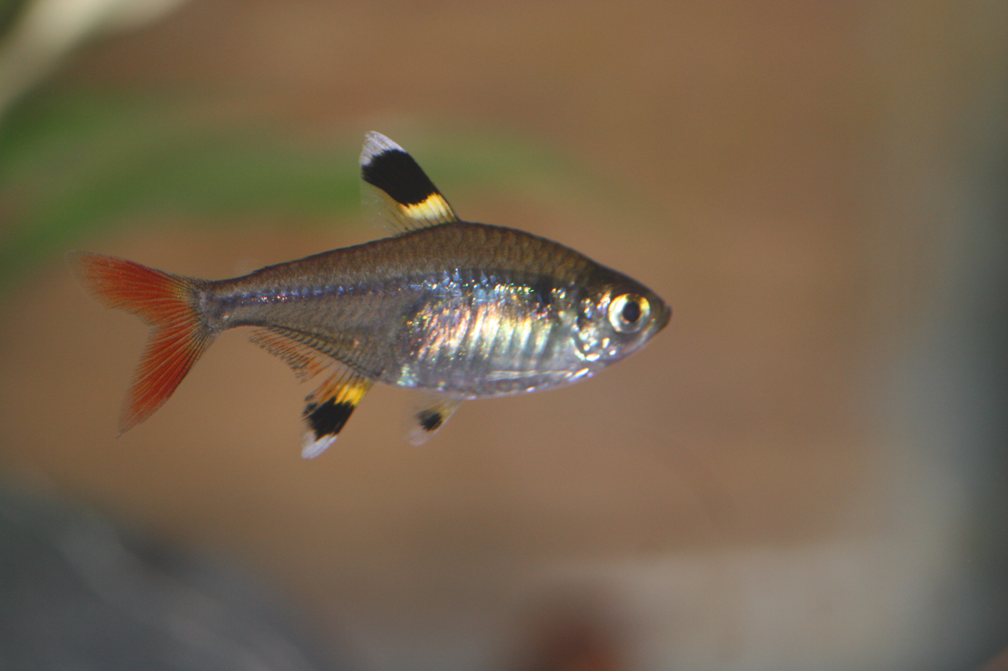 Breeding tetra fish the fish doctor for Tetra acquario