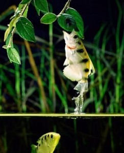 archer fish jumps out of the water