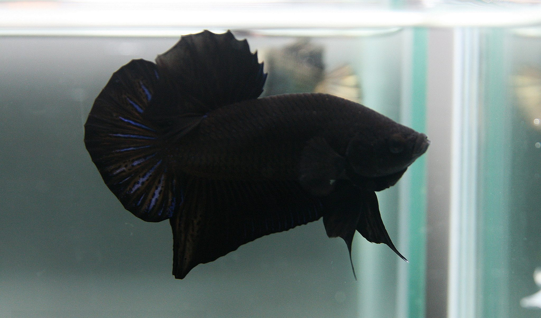 Betta fish colors the fish doctor for Black and white koi fish for sale