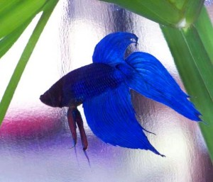 blue siamese fighting fish male