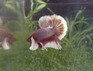 chocolate halfmoon dumbo ears betta