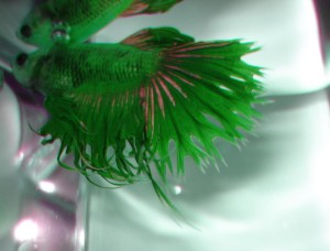 green siamese fighting fish