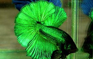 green siamese fighting fish male