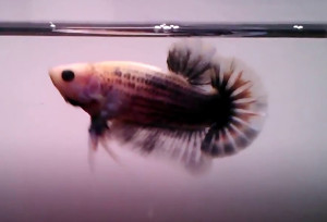 grizzle brown on pink halfmoon betta
