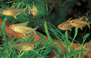 breeding tetras
