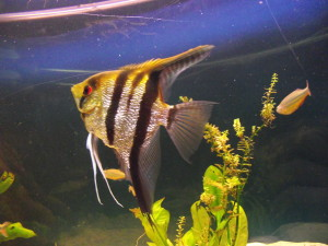 large angel fish picture
