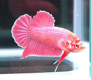 pink siamese fighting fish male