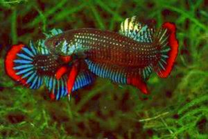 Fighting Betta Splendens – some say cruel others say entertaining