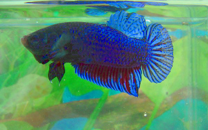 Champion siamese figher - fighting betta splendens