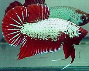 plakat thai fighter betta splendens