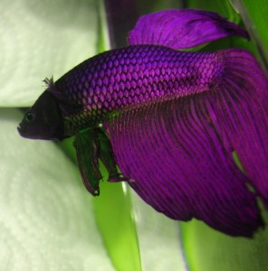 purple siamese fighting fish male