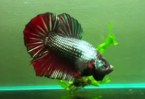 red copper dragon halfmoon plakat betta