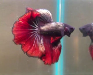 Red copper halfmoon betta