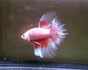 pink and red dragon rosetail butterfly betta