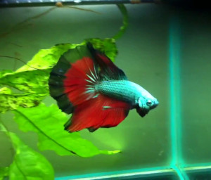 red green and black butterfly betta with dragon scales and halfmoon tail