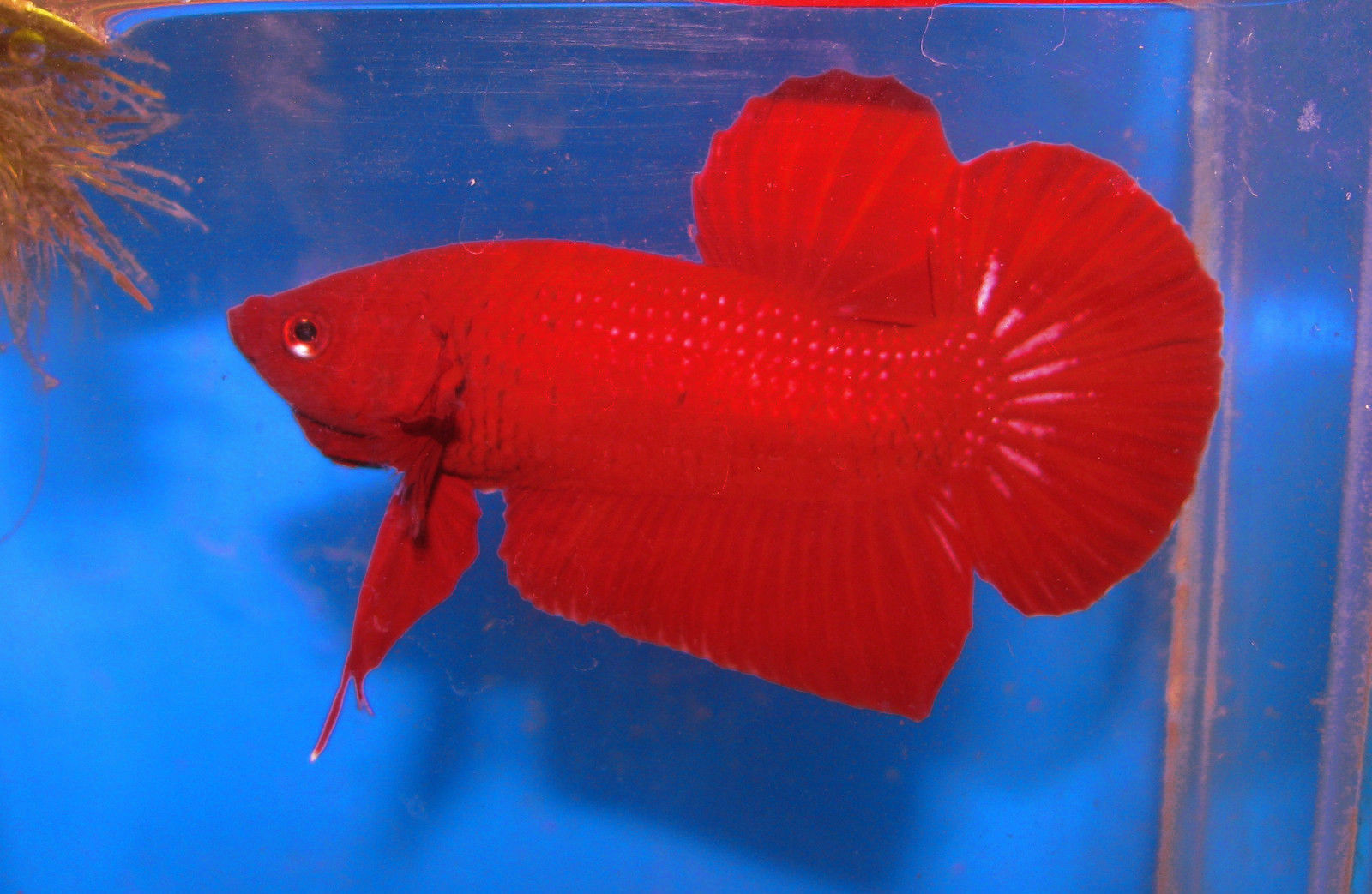 Betta Fish Colors – The fish doctor