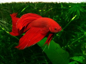 red siamese fighting fish male