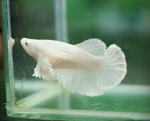 white siamese fighting fish male