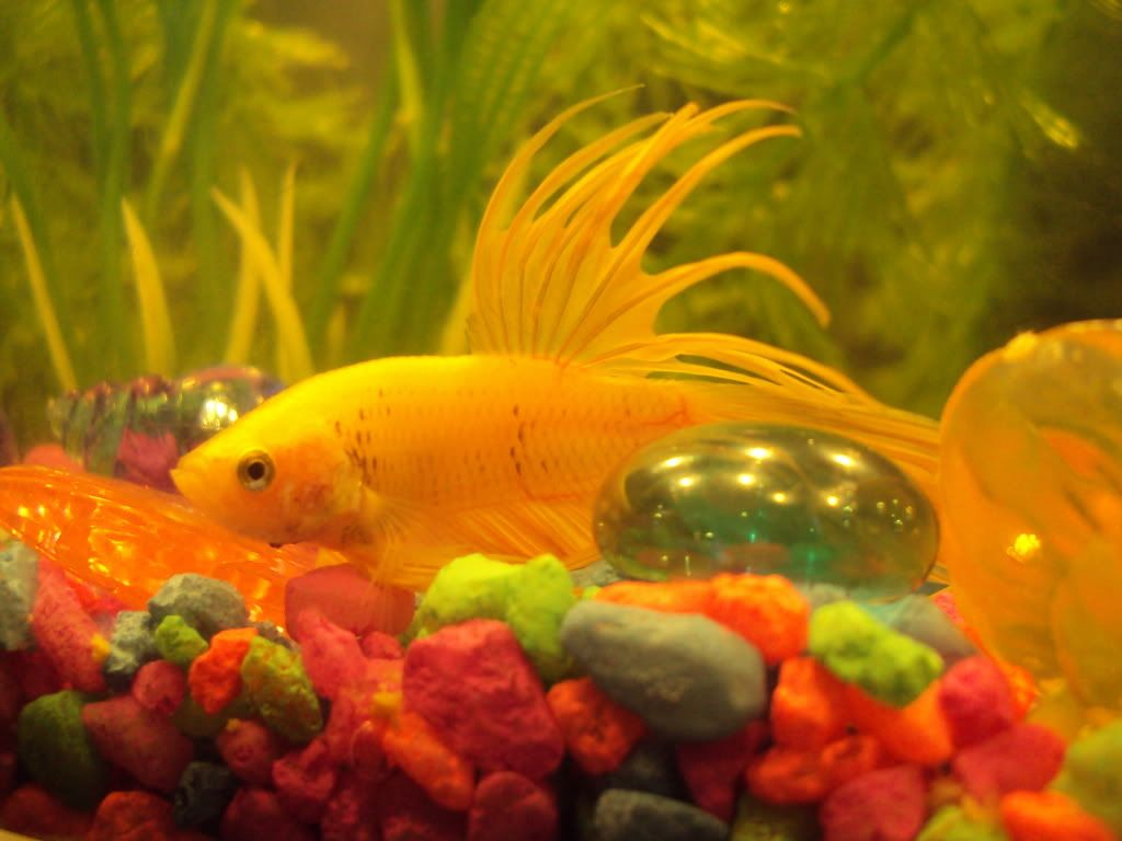 Yellow betta fish images galleries for Doctor fish for sale