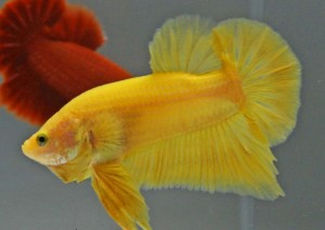 yellow siamese fighting fish champion