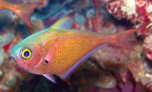 New species discovered pempheris flavicycla