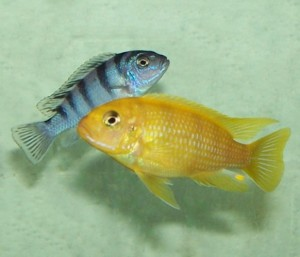 Breeding pair of kenyi aka lombardoi