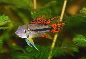 male cockatoo dwarf cichlid - double red