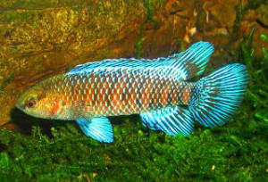 Blue badis badis male
