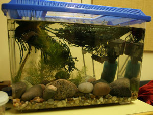 killifish breeding tank