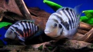convict cichlid breeding pair