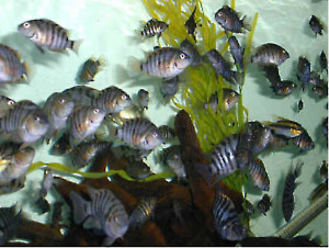 group of baby convict cichlids