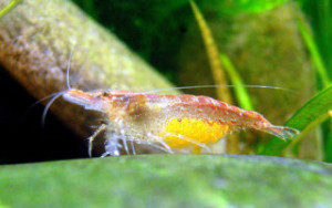 pregnant cherry shrimp
