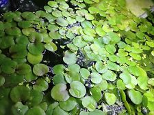 frogbit covering the aquarium surface